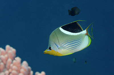 Saddled Butterflyfish (chaetodon Poster by Pete Oxford