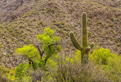 Poster featuring the photograph Saguaro And Cottonwood by Beverly Parks
