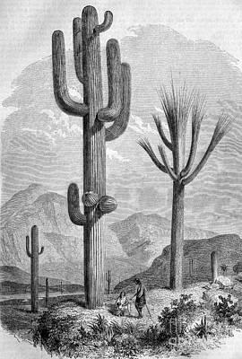 Saguaro Cactus, Historical Artwork Poster by Bildagentur-online