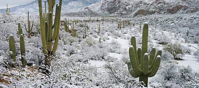 Saguaro Cactus In A Desert Poster