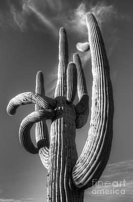 Saguaro Cactus Monochrome Poster by Bob Christopher