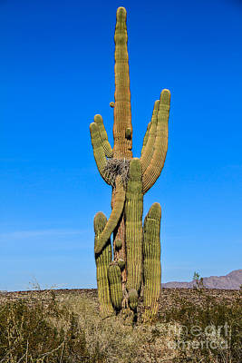 Saguaro Family Poster by Robert Bales