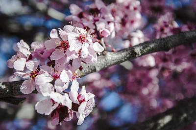 Sakura Blossoms Poster by Anthony Citro
