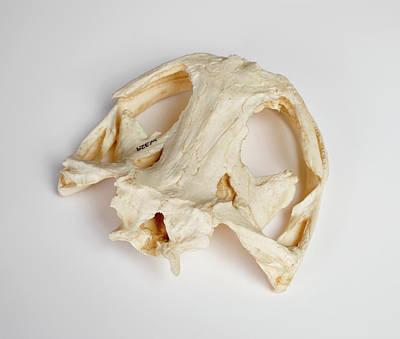 Salamander Skull Model Poster