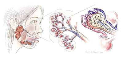 Salivary Gland Anatomy Poster