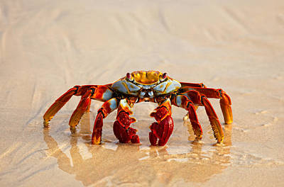 Sally Lightfoot Crab Poster by June Jacobsen