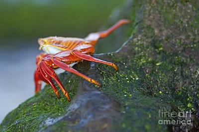 Sally Lightfoot Crab On Rock Poster by Sami Sarkis