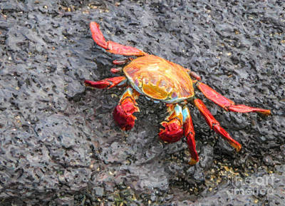 Sallylightfoot Crab Poster by Liz Leyden