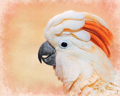 Salmon Crested Cockatoo Portrait Poster by Jai Johnson