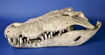 Saltwater Crocodile Skull Poster by Science Photo Library