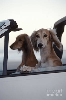 Saluki Dogs In Car Poster by Chris Harvey