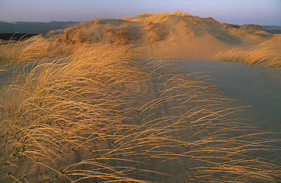 Sand Dunes Covered With Beach Grass Poster by Norbert Rosing