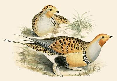 Sand Grouse Poster by Beverley R. Morris