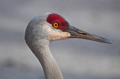 Poster featuring the photograph Sand Hill Crane Portrait by Sabine Edrissi