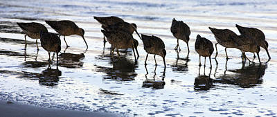 Sand Pipers Reflected Poster