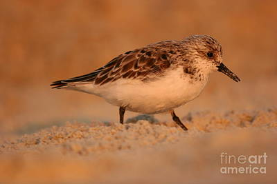 Poster featuring the photograph Sanderling Sunrise by John F Tsumas