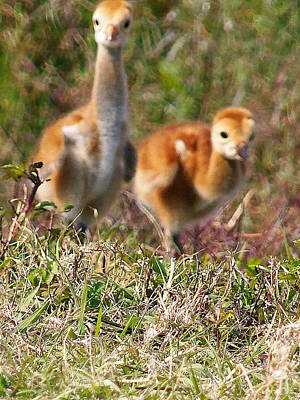 Poster featuring the photograph Sandhill Chicks by Chris Mercer