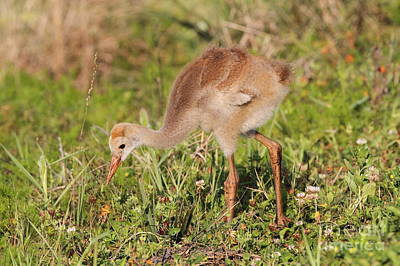 Poster featuring the photograph Sandhill Crane Chick by Jennifer Zelik