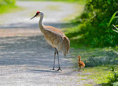 Sandhill Crane Colt Poster by Kathy King