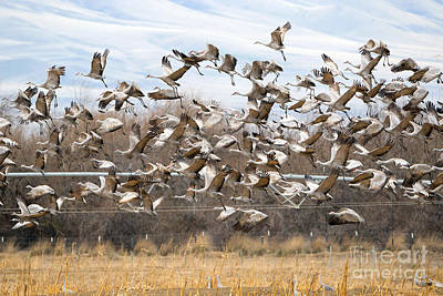 Sandhill Crane Explosion Poster by Mike Dawson