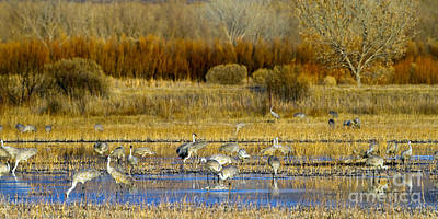 Sandhill Flock In Fall Poster