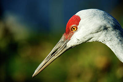 Sandhill Crane, Grus Canadensis (large Poster by Richard Wright
