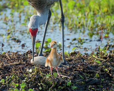 Sandhill Crane Inspecting Second Egg Poster by Maresa Pryor