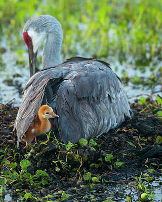Sandhill Crane On Nest With Colt Poster by Maresa Pryor