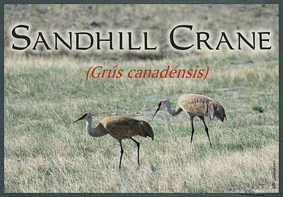 Sandhill Crane Poster Poster