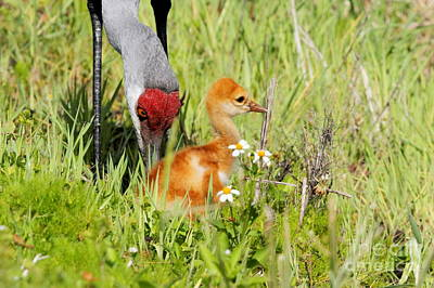 Sandhill Crane With Colt Poster by Jennifer Zelik