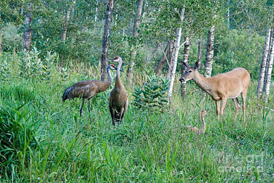 Sandhill Cranes And A White-tailed Doe Poster by Linda Freshwaters Arndt