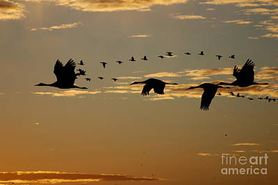 Sandhill Cranes At Sunset Poster