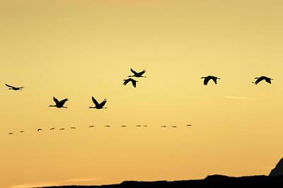 Sandhill Cranes Flying At Sunset Poster by Maresa Pryor