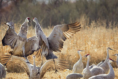 Sandhill Cranes In The Corn Fields Poster