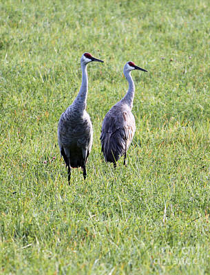 Poster featuring the photograph Sandhill Cranes In Wisconsin by Debbie Hart