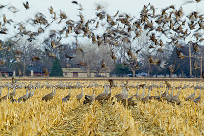 Sandhill Cranes Leave Corn Fields Poster by Chuck Haney