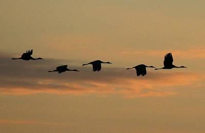 Sandhill Cranes Over Horicon Marsh Poster