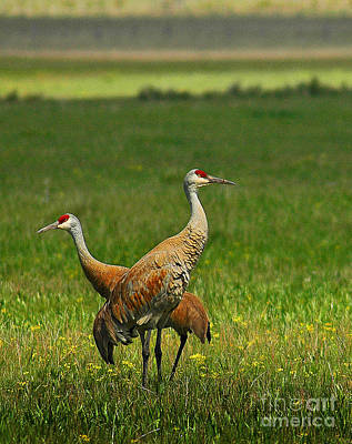 Poster featuring the photograph Sandhill Cranes by Sam Rosen