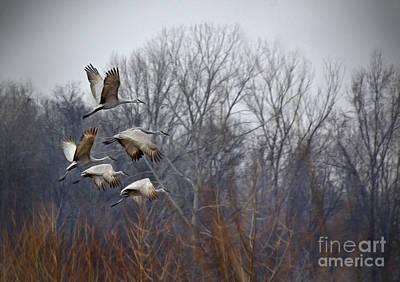 Sandhill Cranes Takeoff Poster