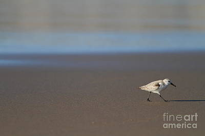 Sandpiper At Mcclure Beach Point Reyes California - 5d21353 Poster by Wingsdomain Art and Photography