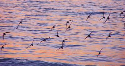 Sandpipers At Sunset Poster