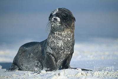 Poster featuring the photograph Sandy Sea Lion by Chris Scroggins