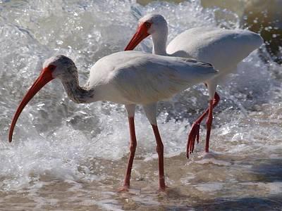 Sanibel White Ibis Poster