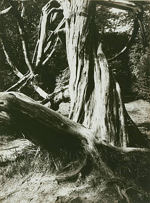 Sapin, Trianon Pine Tree Trunks At The Trianon Eugène Atget Poster by Litz Collection