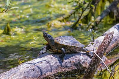 Sardis Pond Turtle Poster