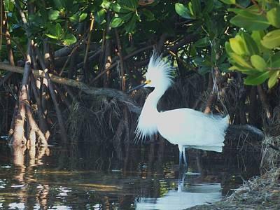 Sassy Snowy Egret Poster