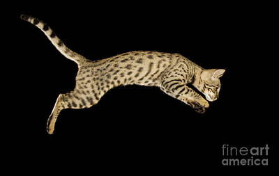 Savannah Cat Poster by Terry Whittaker