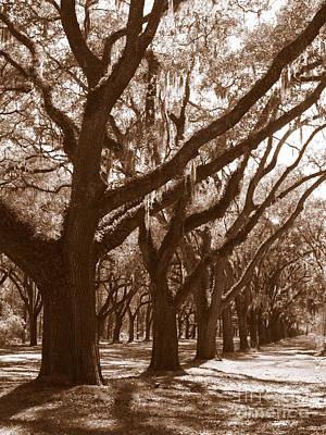 Savannah Sepia - Glorious Live Oaks Poster by Carol Groenen