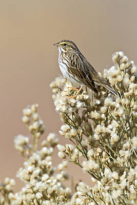 Poster featuring the photograph Savannah Sparrow by Bryan Keil