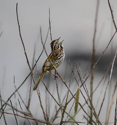 Poster featuring the photograph Savannah Sparrow by Marty Saccone